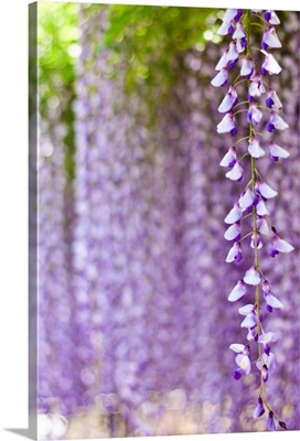 Wisteria flower with purple bokeh background