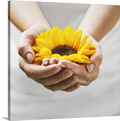 Woman holding a sunflower bloom in cupped hands.