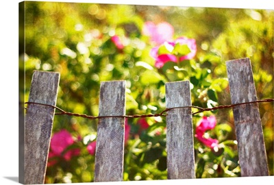Wooden fence against rosa rugosa.