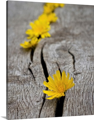 Yellow dandelion heads all lined up in cracks on wooden bench.