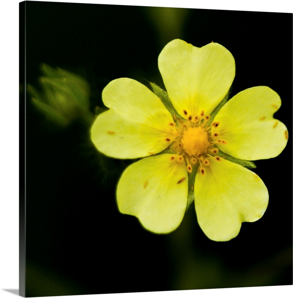 Yellow flower with five heart shaped petals, against dark background, US. Wall Art