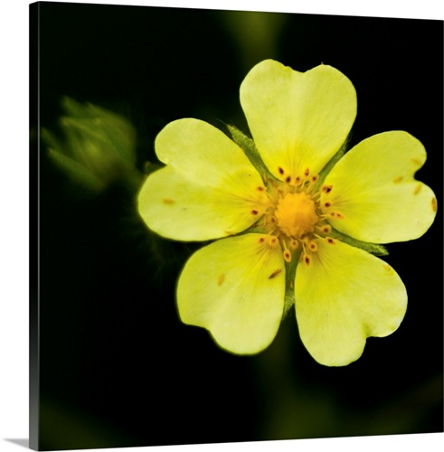 Yellow flower with five heart shaped petals against dark background yellow flower with five heart shaped petals against dark background us mightylinksfo