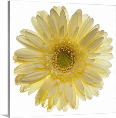 Yellow gerbera daisy isolated on white.
