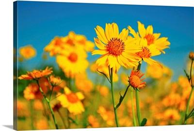 Yellow wildflowers agents blue sky.