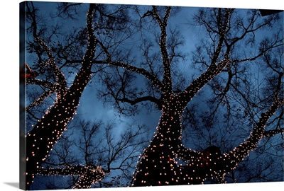 Zelkova trees decorated with Christmas lights