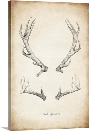 Antler Specimens Wall Art, Canvas Prints, Framed Prints, Wall Peels ...