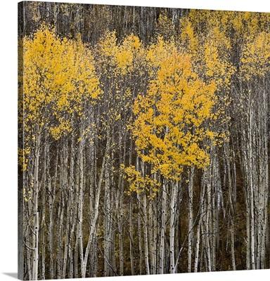 Aspen Trees II