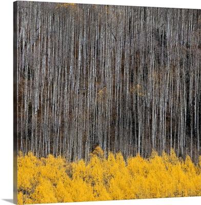 Aspen Trees IV