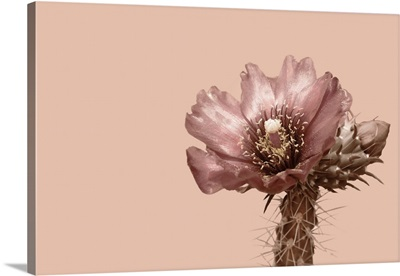 Blush Cactus 2