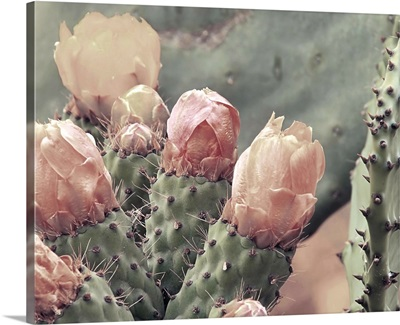 Blush Cactus 4