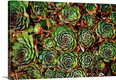 Cabbage Flower II