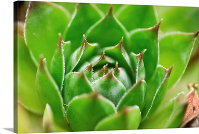 Cabbage Flower III