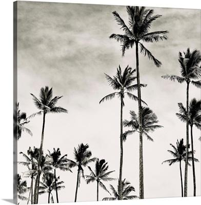 Coconut Palms I, Cocos nucifera, Kaunakakai, Molokai