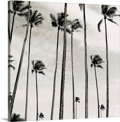 Coconut Palms II, Cocos nucifera, Kaunakakai, Molokai