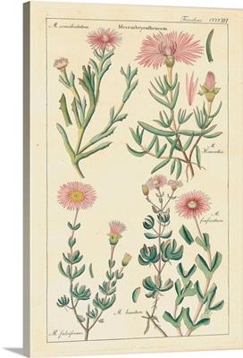 Geraniaceae Plate 4