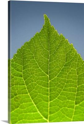 Green Leaf C