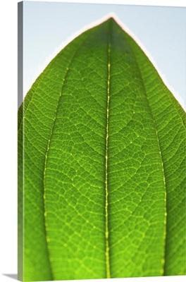 Green Leaf D