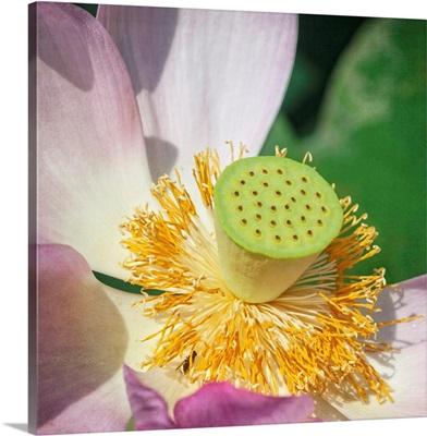 Lotus Lily I