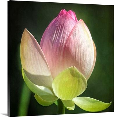 Lotus Lily IV
