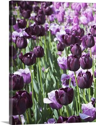 Purples I