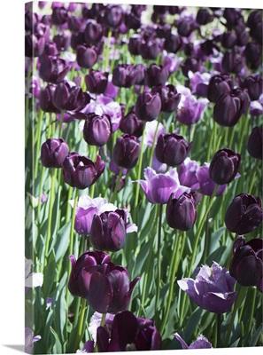 Purples III