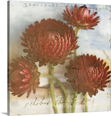 Red Strawflower II