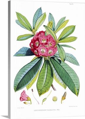Rhodedendrum Barbatum