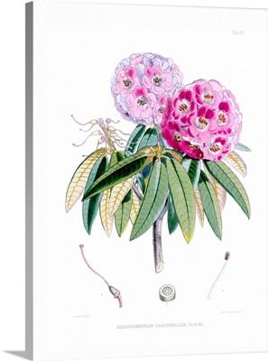 Rhodedendrum Campbelliae