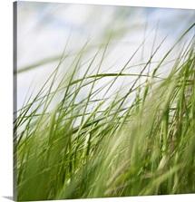 Sea Grasses I