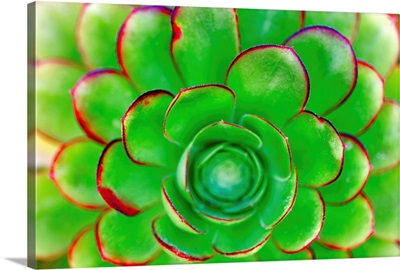 Succulent - Color 85