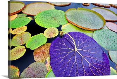 Tropical Waterlily Leaves