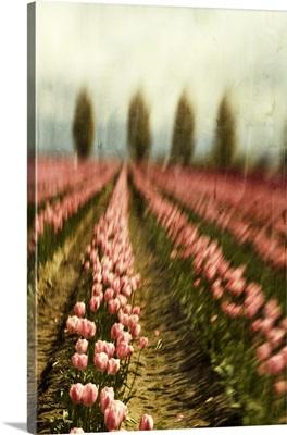 Tulip Field I