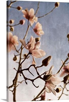 Tulip Magnolia I
