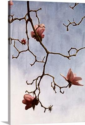 Tulip Magnolia II