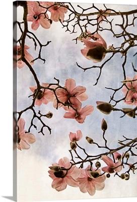 Tulip Magnolia III