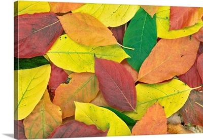 Tupolo Leaves