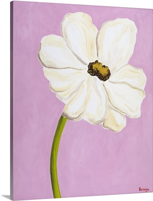 White Cosmos On Pink