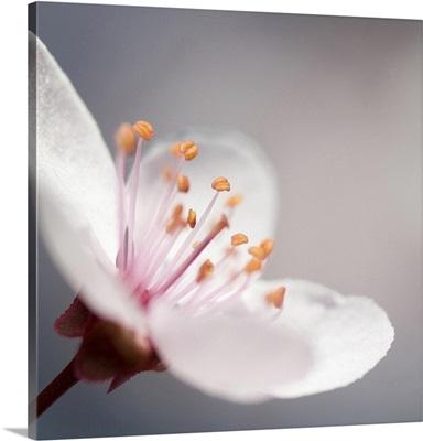 Cherry Flower 1