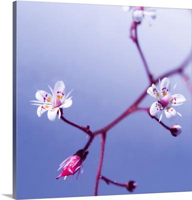 Cherry Flower 3