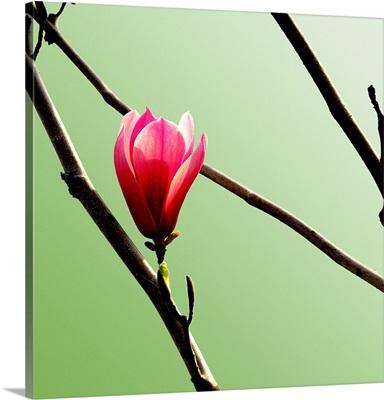 Tulip Tree 3