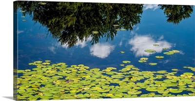 Water Lilies and Reflection