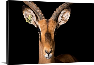A black faced impala, Aepyceros melampus petersi, at the Lisbon Zoo in Portugal