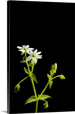 A blooming chickweed plant, Stellaria media