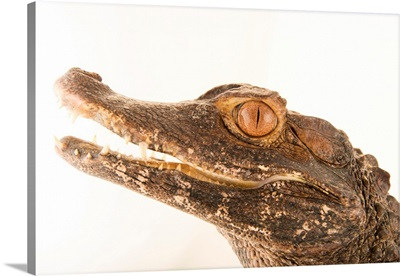 A brown caiman, Caiman crocodilus fuscus, at Lisbon Zoo in Portugal