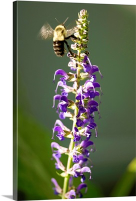 A bumblebee hovers around purple salvia flowers