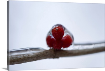 A close-up of berries during winter, Lincoln, Nebraska