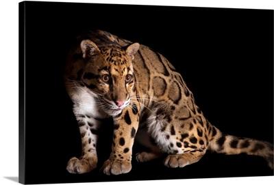 A clouded leopard, Neofelis nebulosa