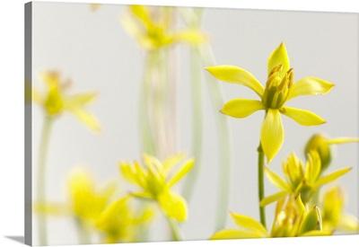 A cluster of rare Harper's beauty flowers, Harperocallis flava