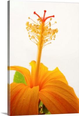 A Hawaiian orange hibiscus, Hibiscus kokio saintjohnianus