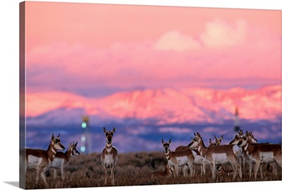 A herd of pronghorns graze near gas drilling rigs sunset, Pinedale, Wyoming